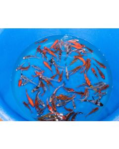 "5"" Lot of 3 Japanese Imported Live Koi Fish"