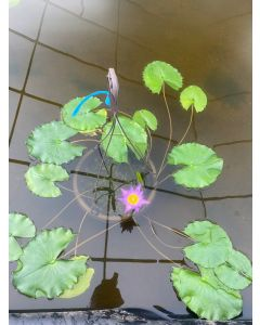 Panama Pacific - Tropical Water Lily