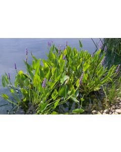 Pickerel Rush Pond Plants - Pontederia Cordata