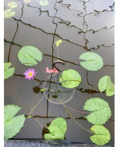 Pink Capensis - Tropical Water Lily