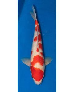 """22"""" Imported Kohaku Live Koi Fish - S002"""