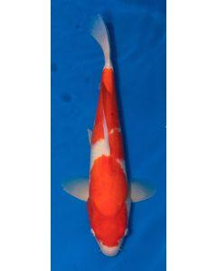 """20"""" Imported Kohaku Live Koi Fish - S005"""