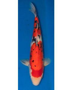 """21"""" Imported Sanke Live Koi Fish - S033"""