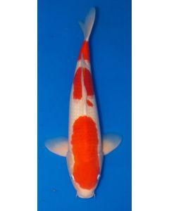 "20"" Japanese Imported Kohaku Live Koi Fish - S047"