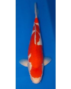 "22"" Japanese Imported Kohaku Live Koi Fish - S048"