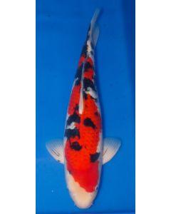 "21"" Japanese Imported Sanke Live Koi Fish - S050"