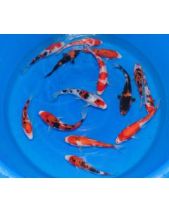 "8"" Gosanke Special Lot of 3 Japanese Imported Live Koi Fish"