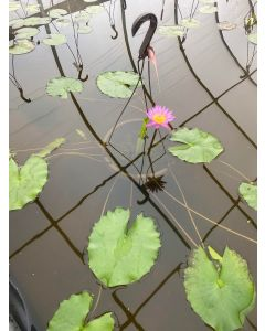 Shirley Bryne - Tropical Water Lily