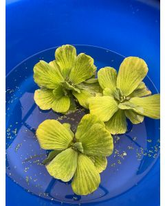 Water Lettuce, Bundle of 3