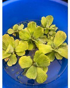 Water Lettuce, Bundle of 6