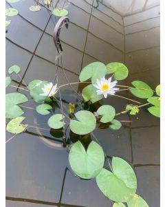 White Oderata - Hardy Water Lily