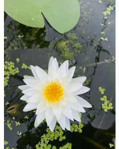 Grower's Choice - Hardy Water Lily
