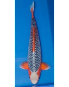 "25"" Japanese Imported Asagi Live Koi Fish - Y05"